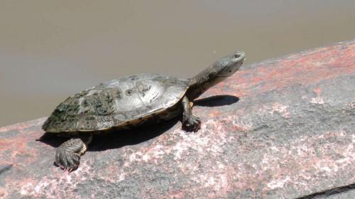 1.tortue puerto madero.JPG