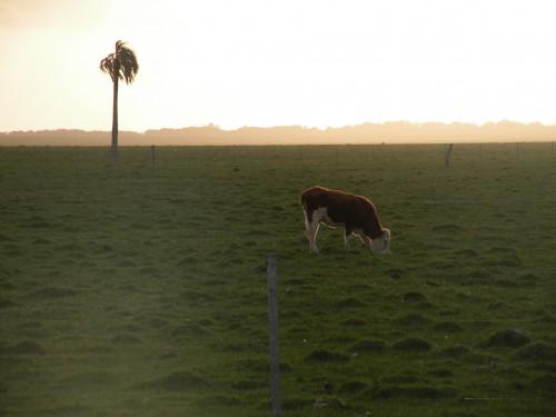 Vache lumière parfaite.JPG