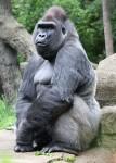 colo-gorille-devenu-grand.jpg