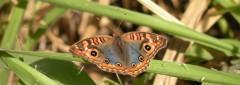 papillon 1.JPG